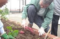 菜園、庭園での野菜の収穫